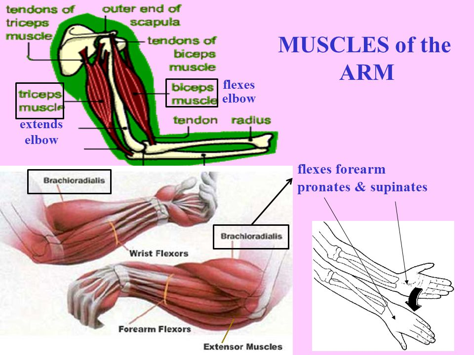 MUSCLES of the ARM flexes forearm pronates & supinates flexes elbow