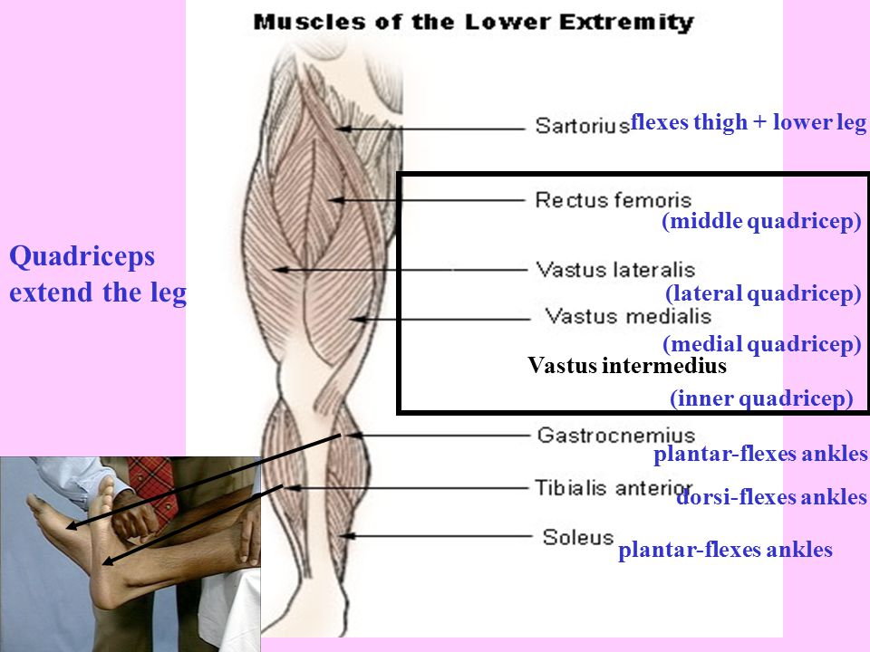Quadriceps extend the leg Vastus intermedius (inner quadricep)