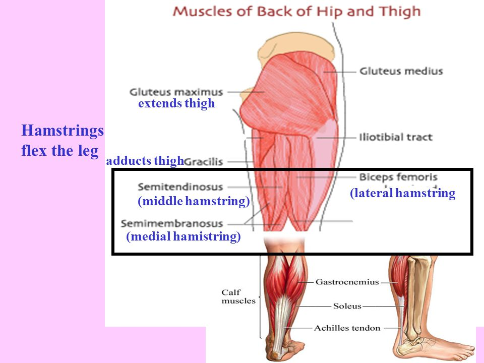 Hamstrings flex the leg extends thigh adducts thigh (lateral hamstring