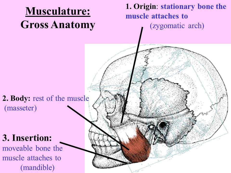 Musculature: Gross Anatomy