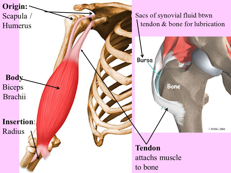 Origin: Scapula / Humerus Body Biceps Brachii Insertion: Radius Tendon