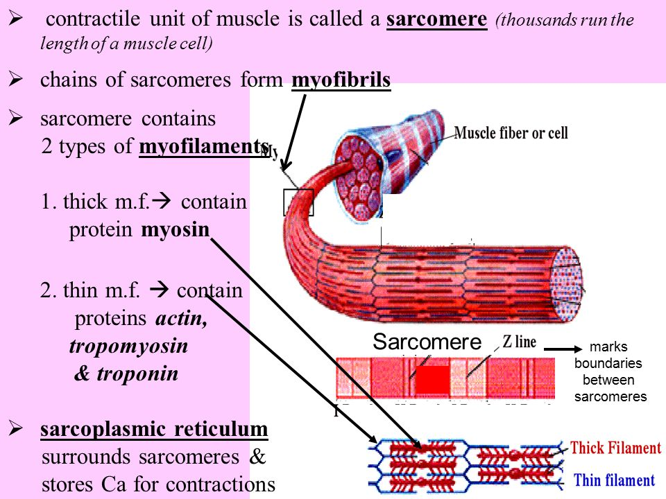 chains of sarcomeres form myofibrils sarcomere contains