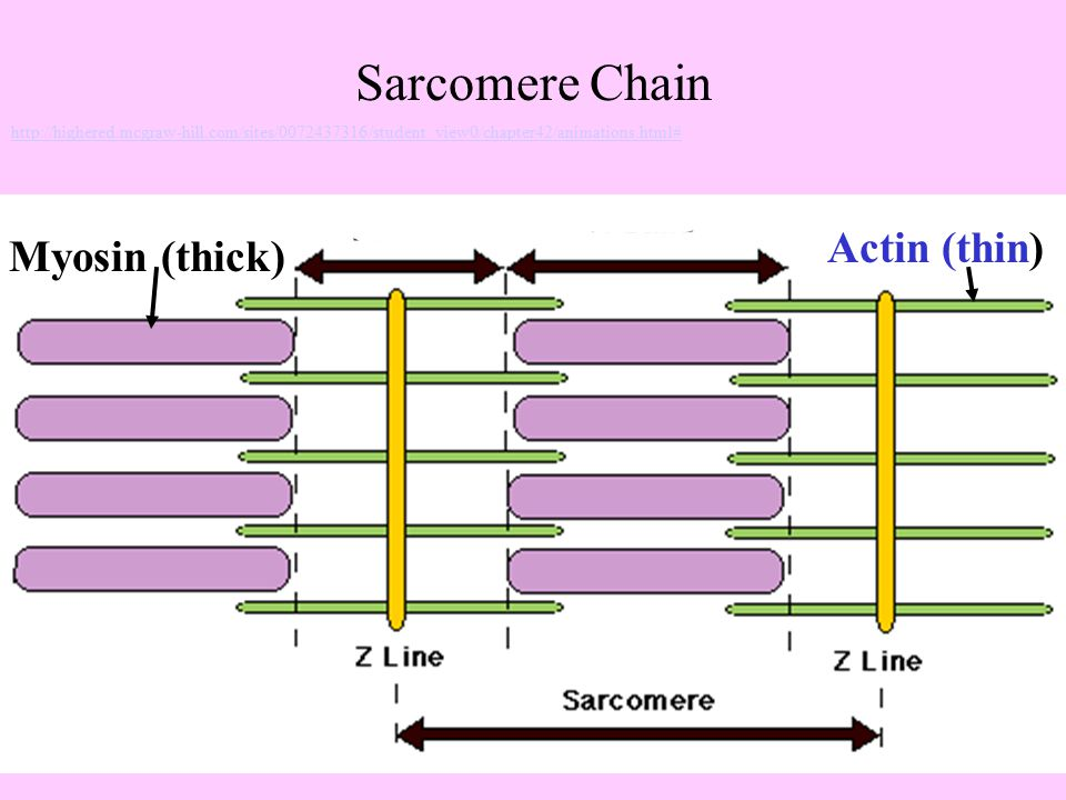 Sarcomere Chain Actin (thin) Myosin (thick)