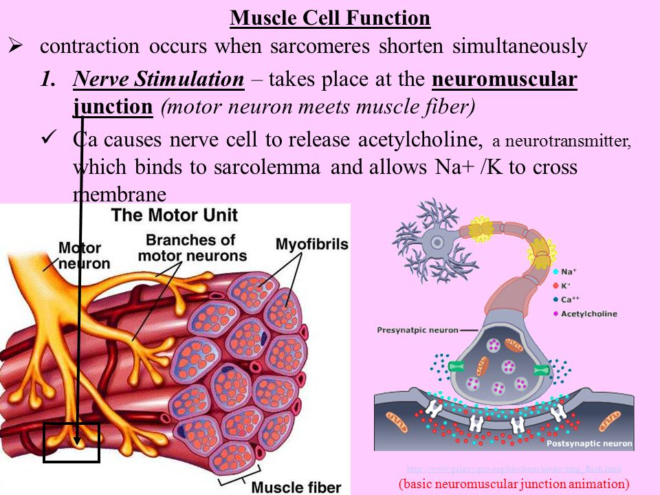(basic neuromuscular junction animation)