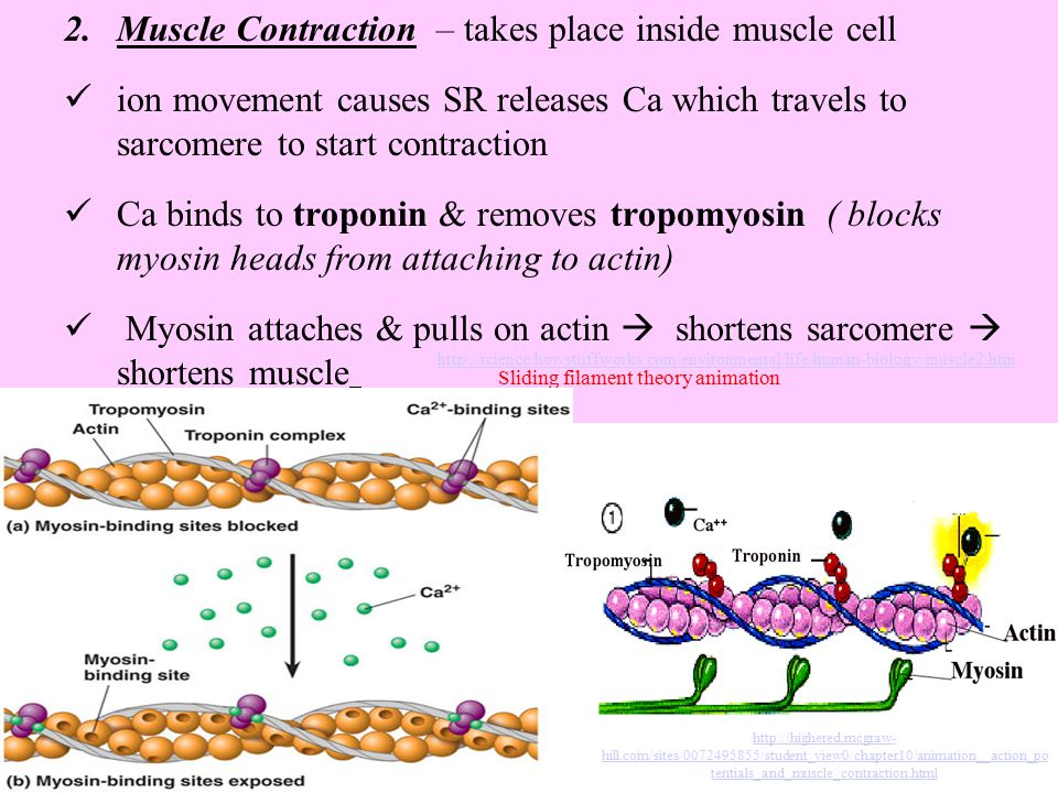 Muscle Contraction – takes place inside muscle cell