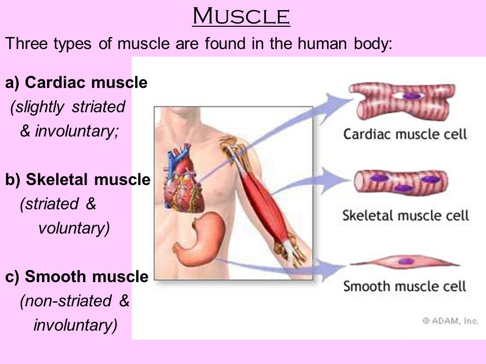 Muscle Three types of muscle are found in the human body: