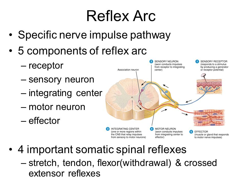Reflex Arc Specific nerve impulse pathway 5 components of reflex arc