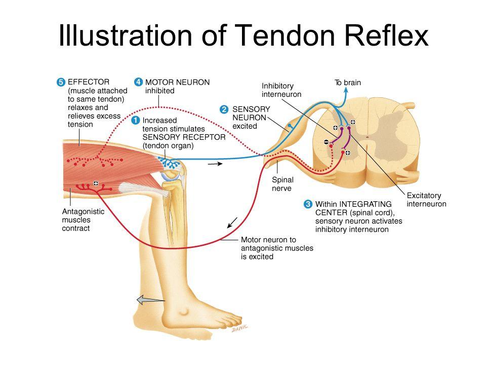 Illustration of Tendon Reflex