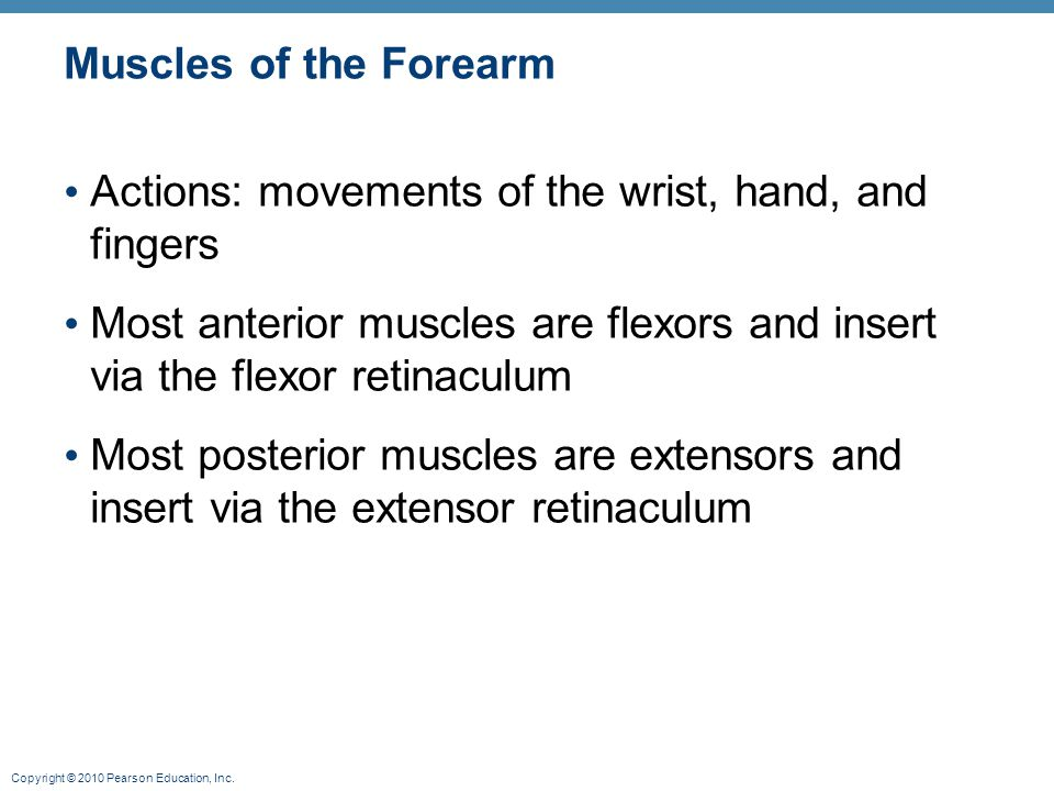 Muscles of the Forearm Actions: movements of the wrist, hand, and fingers. Most anterior muscles are flexors and insert via the flexor retinaculum.