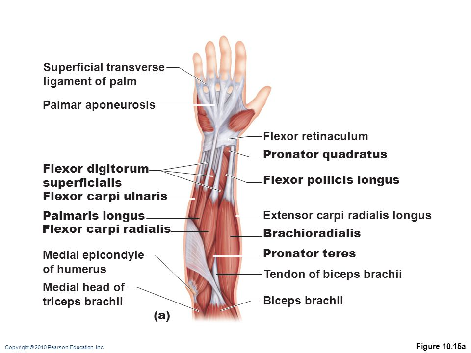 Superficial transverse ligament of palm