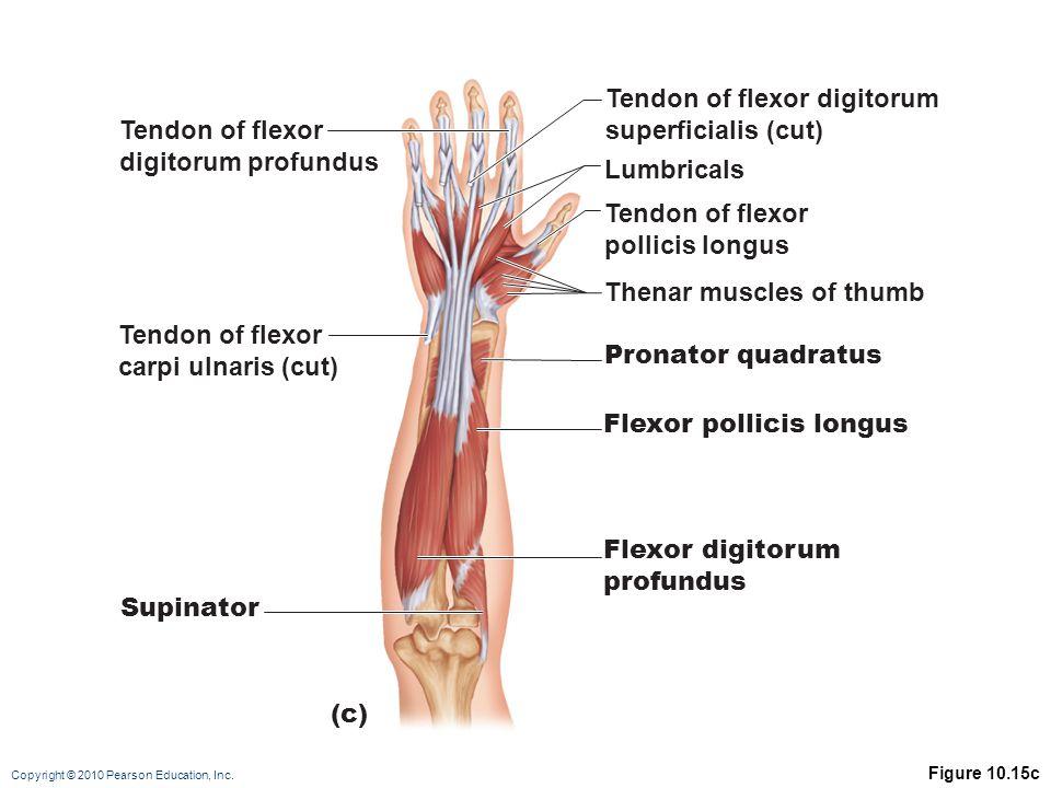 Tendon of flexor digitorum superficialis (cut) Tendon of flexor