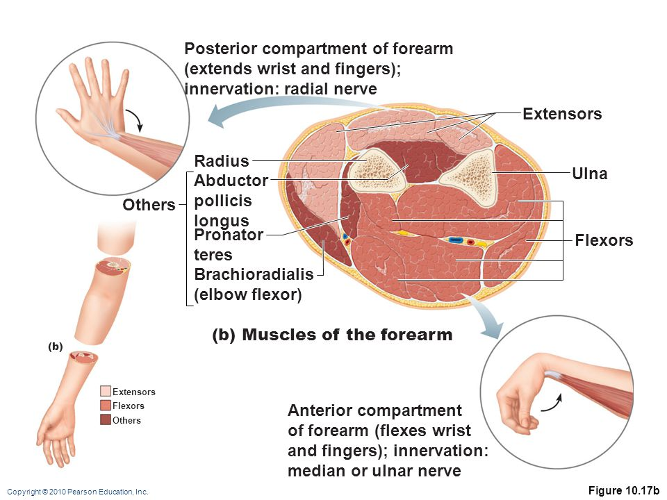 Posterior compartment of forearm (extends wrist and fingers);