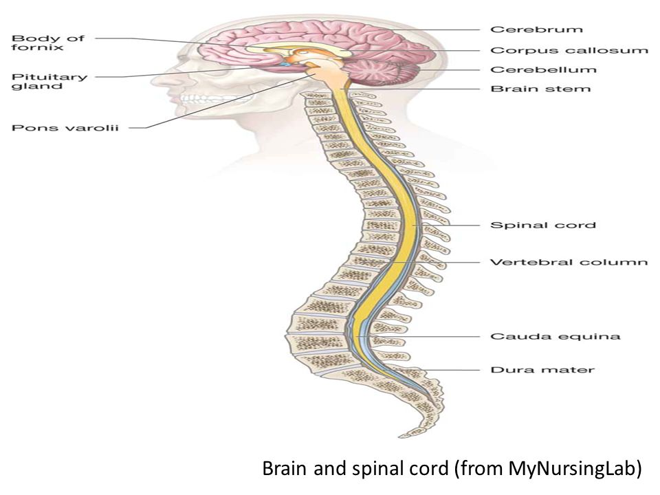 Brain and spinal cord (from MyNursingLab)