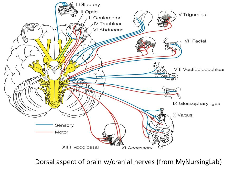 Dorsal aspect of brain w/cranial nerves (from MyNursingLab)