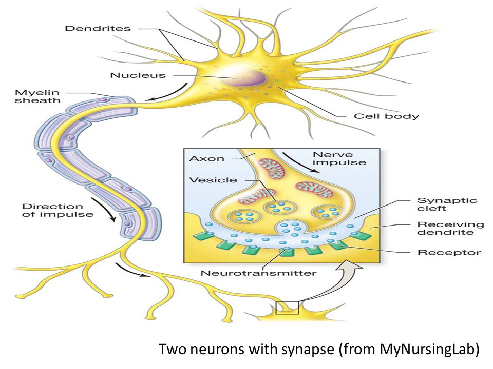 Two neurons with synapse (from MyNursingLab)
