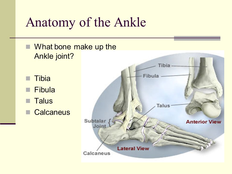 Anatomy of the Ankle What bone make up the Ankle joint Tibia Fibula