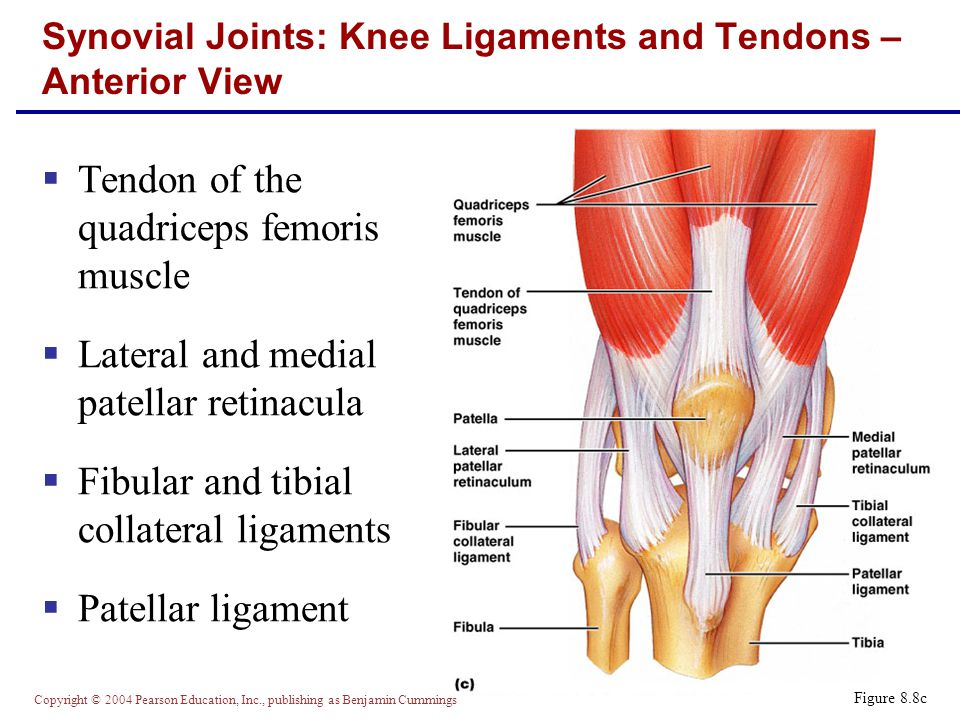 Synovial Joints: Knee Ligaments and Tendons – Anterior View