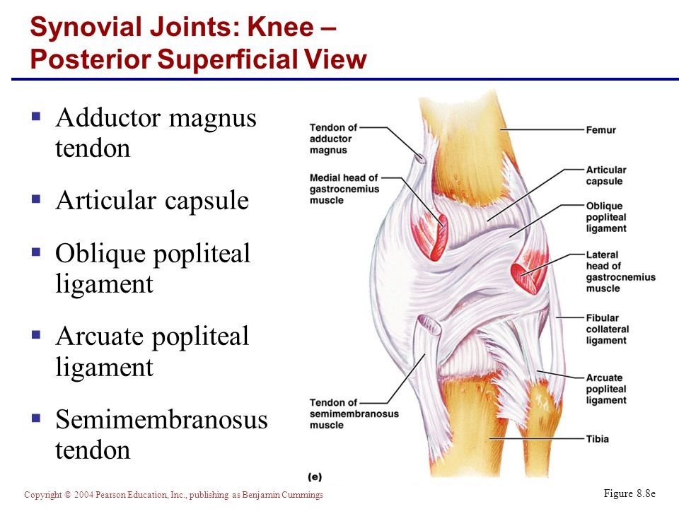 Synovial Joints: Knee – Posterior Superficial View
