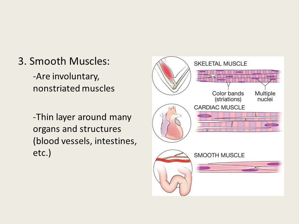 3. Smooth Muscles: -Are involuntary, nonstriated muscles