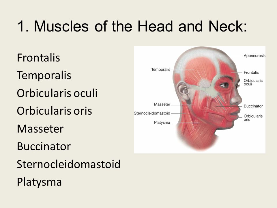 1. Muscles of the Head and Neck: