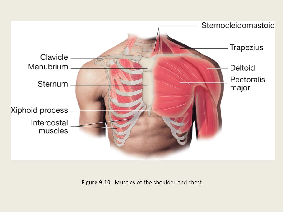 Figure 9-10 Muscles of the shoulder and chest