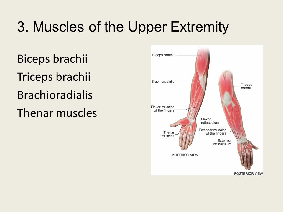 3. Muscles of the Upper Extremity
