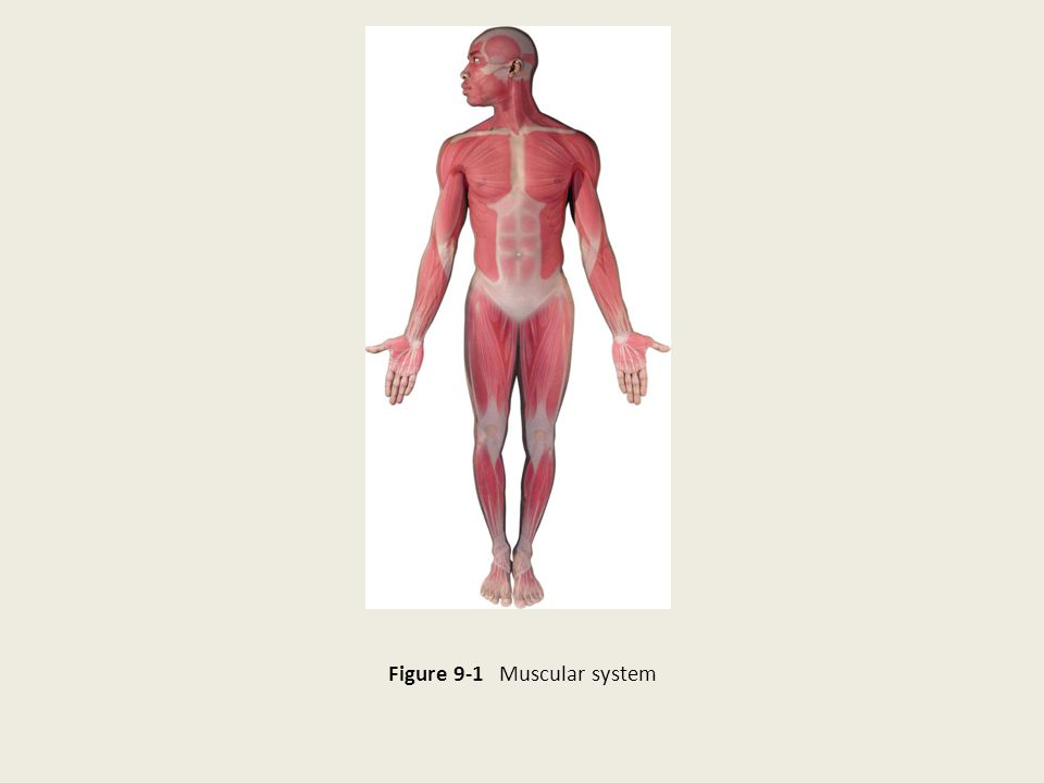 Figure 9-1 Muscular system
