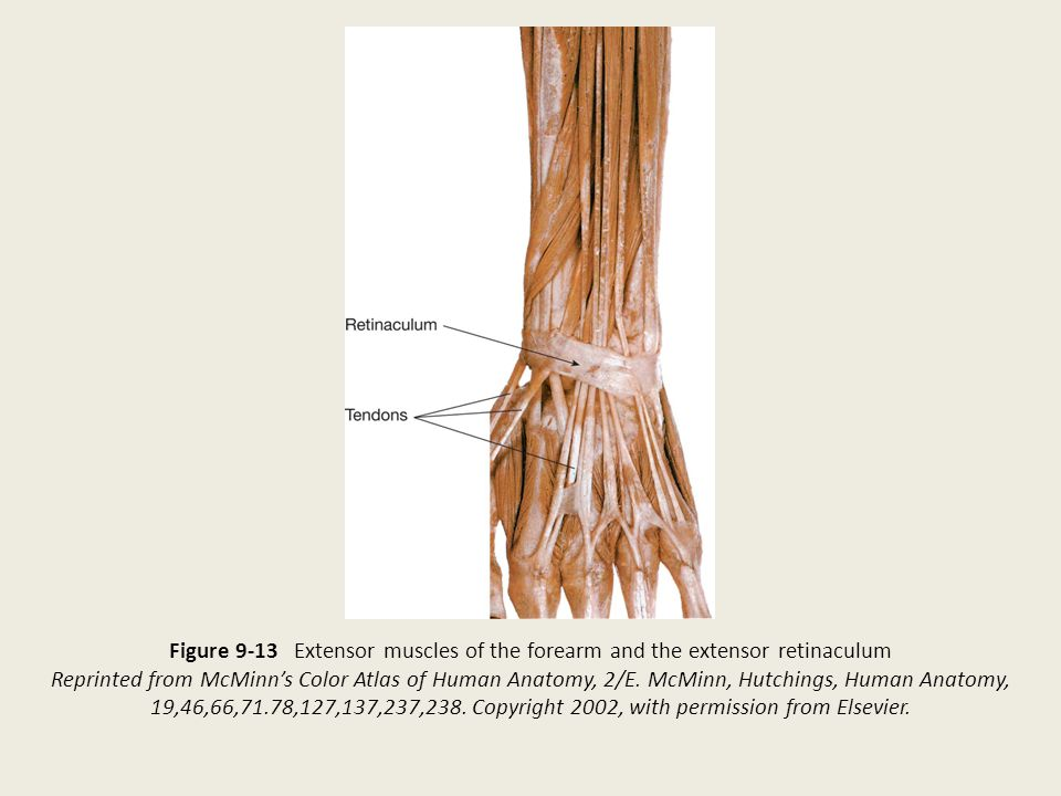 Figure 9-13 Extensor muscles of the forearm and the extensor retinaculum