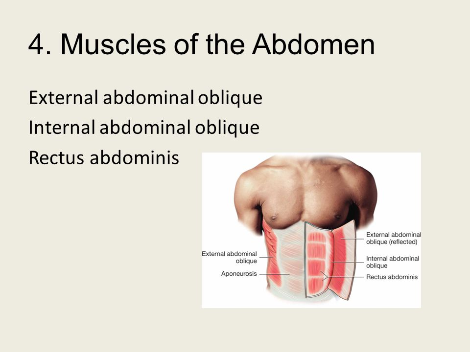 4. Muscles of the Abdomen External abdominal oblique