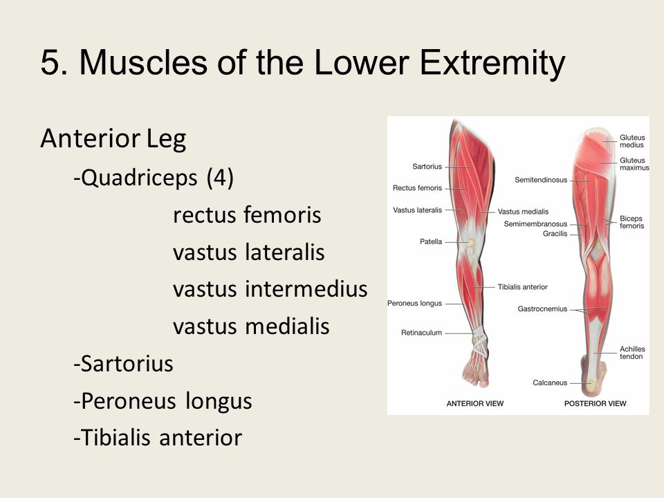 5. Muscles of the Lower Extremity