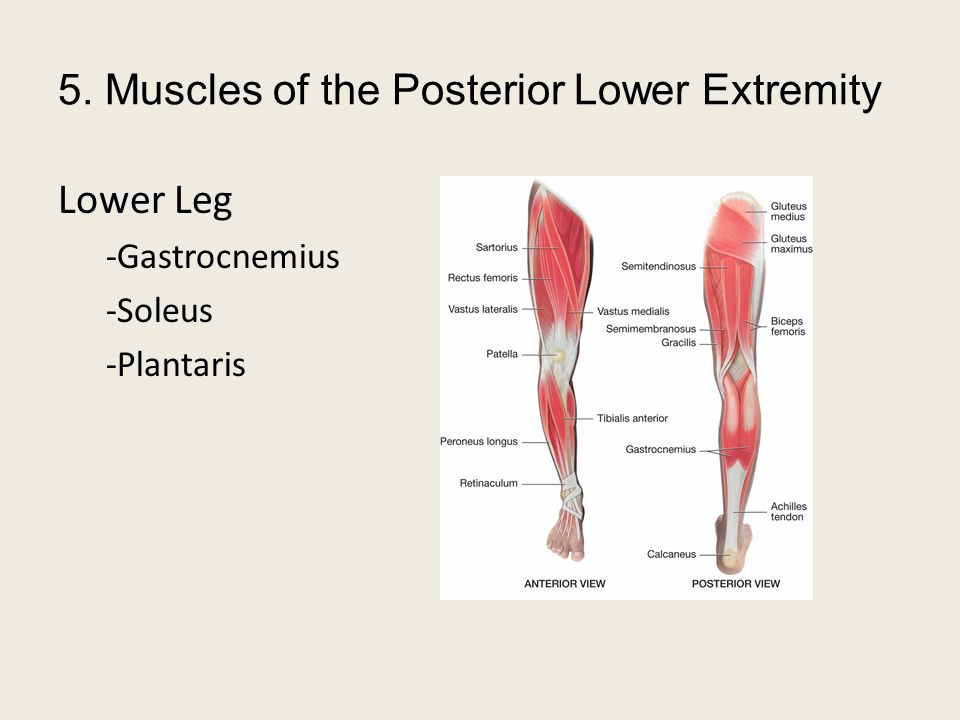 5. Muscles of the Posterior Lower Extremity