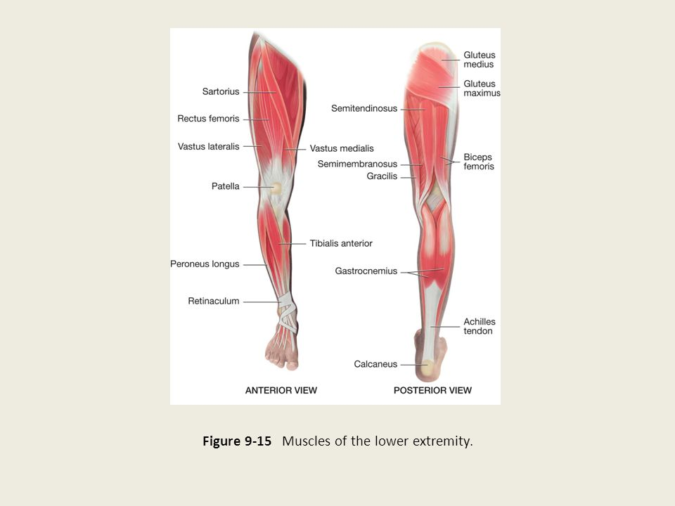 Figure 9-15 Muscles of the lower extremity.