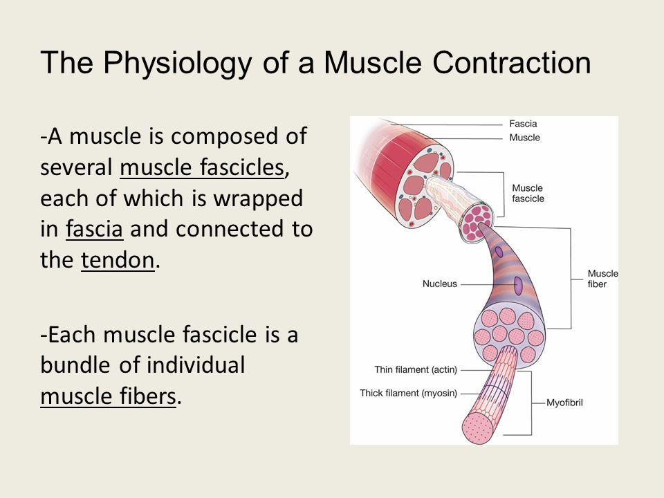 The Physiology of a Muscle Contraction