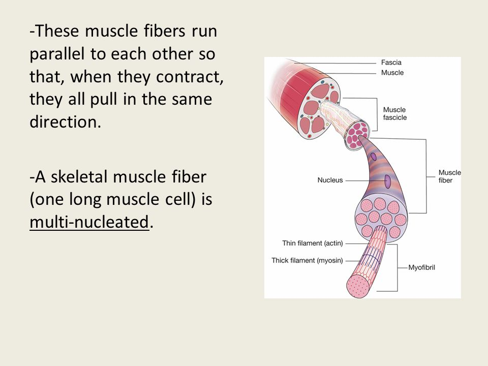 -These muscle fibers run parallel to each other so that, when they contract, they all pull in the same direction. -A skeletal muscle fiber (one long muscle cell) is multi-nucleated.