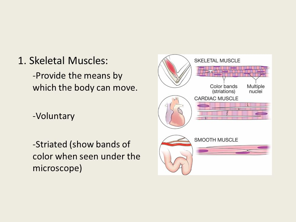 1. Skeletal Muscles: -Provide the means by which the body can move.