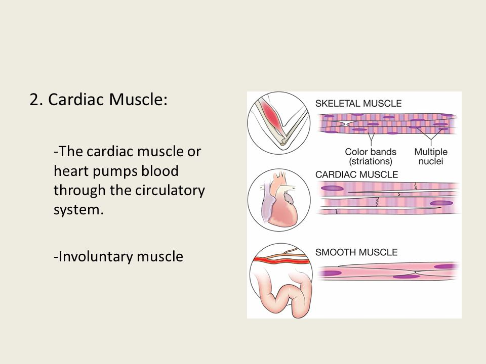 2. Cardiac Muscle: -The cardiac muscle or heart pumps blood through the circulatory system. -Involuntary muscle.