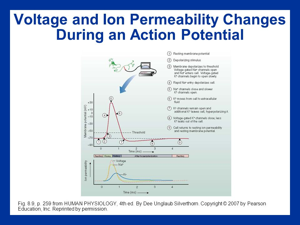 Voltage and Ion Permeability Changes During an Action Potential