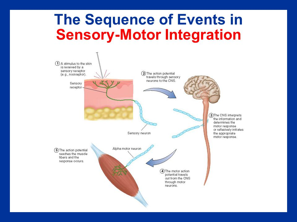 The Sequence of Events in Sensory-Motor Integration