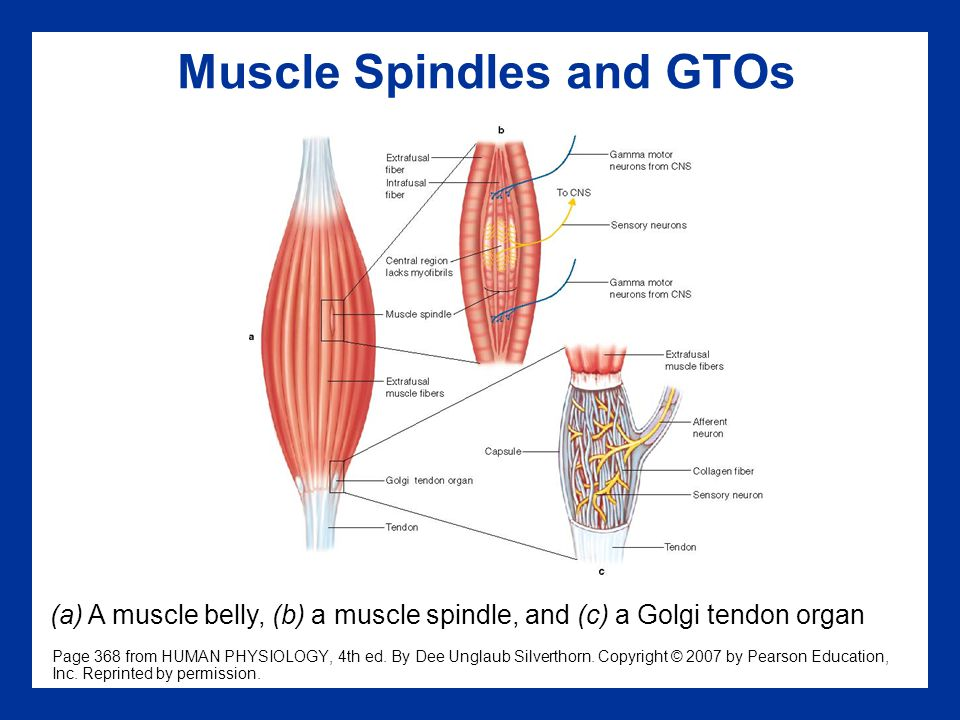 Muscle Spindles and GTOs