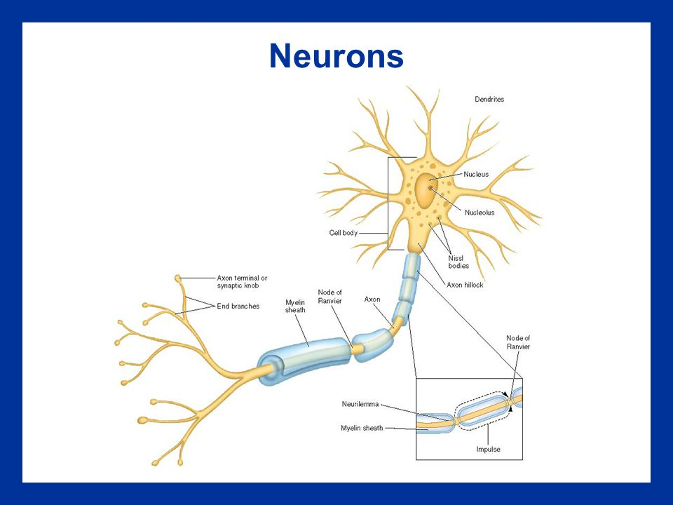 Neurons Insert Figure 3.2 b
