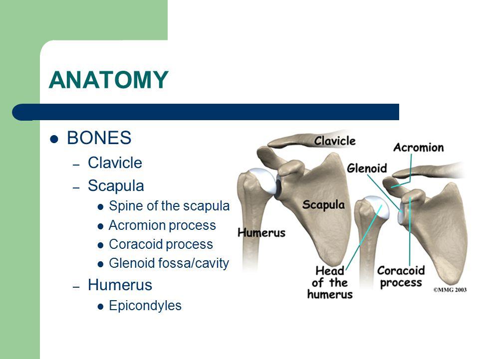 ANATOMY BONES Clavicle Scapula Humerus Spine of the scapula