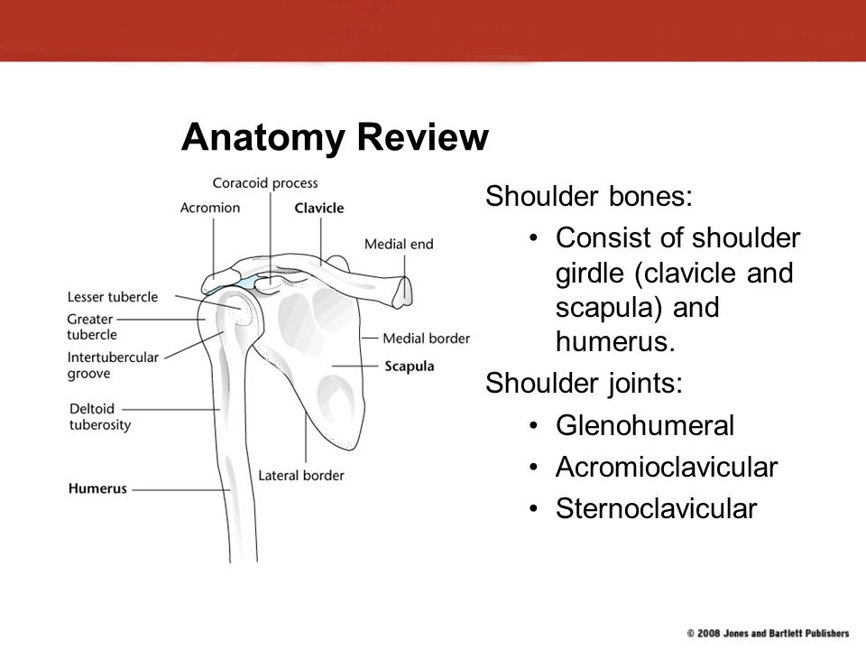Anatomy Review Shoulder bones: