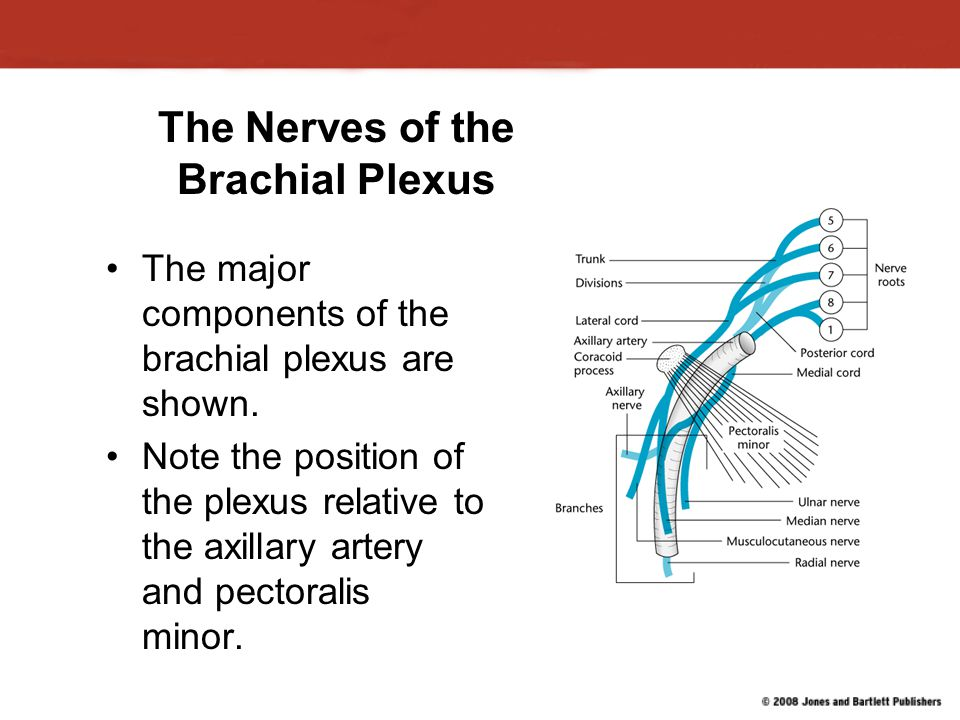 The Nerves of the Brachial Plexus