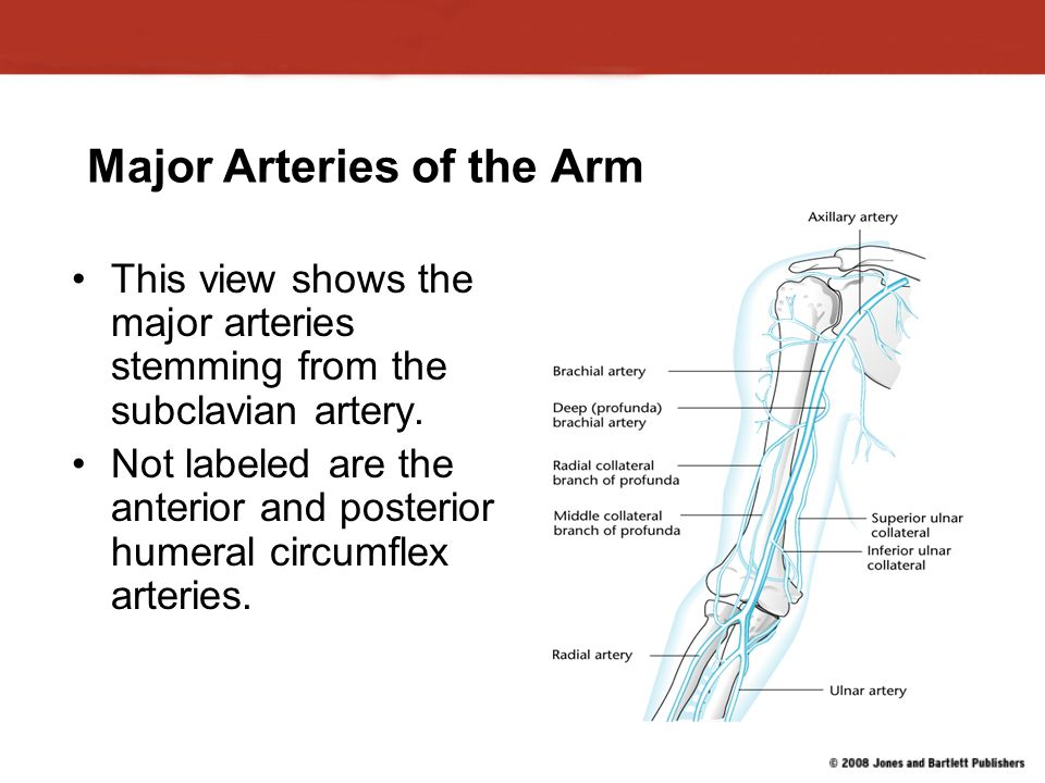 Major Arteries of the Arm