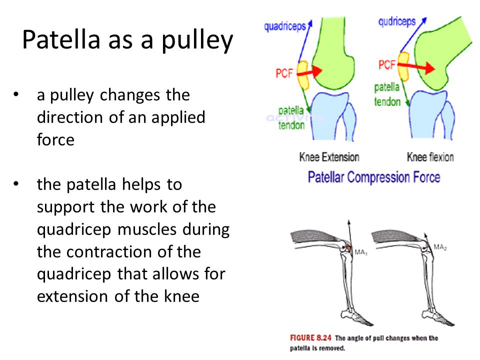 Patella as a pulley a pulley changes the direction of an applied force