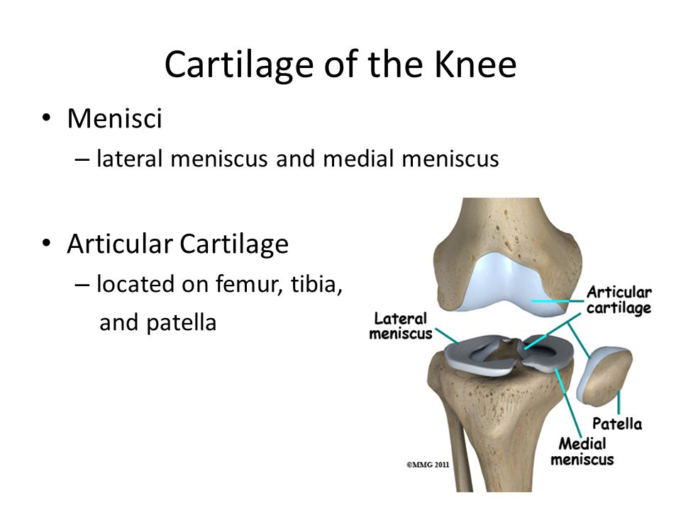 Cartilage of the Knee Menisci Articular Cartilage