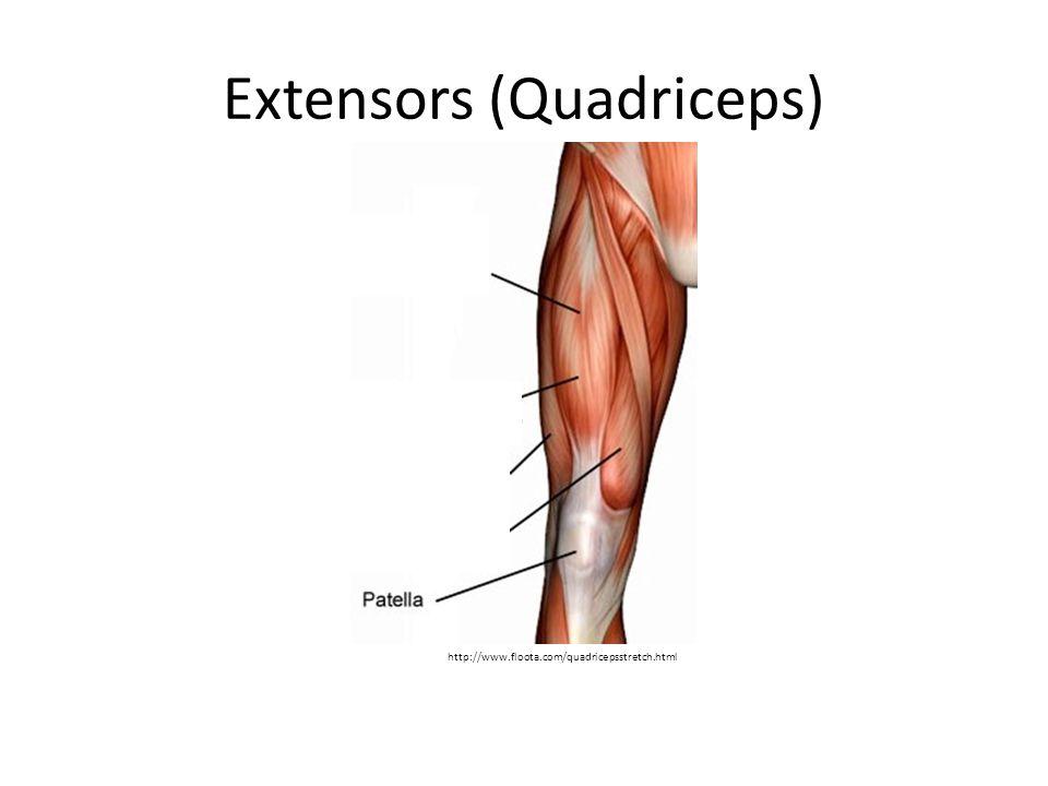 Extensors (Quadriceps)