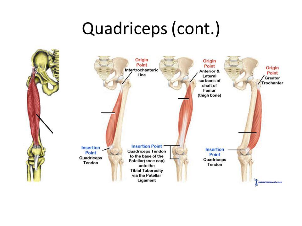 Quadriceps (cont.) Rectus Femoris