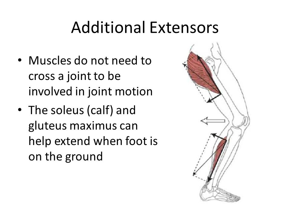 Additional Extensors Muscles do not need to cross a joint to be involved in joint motion.