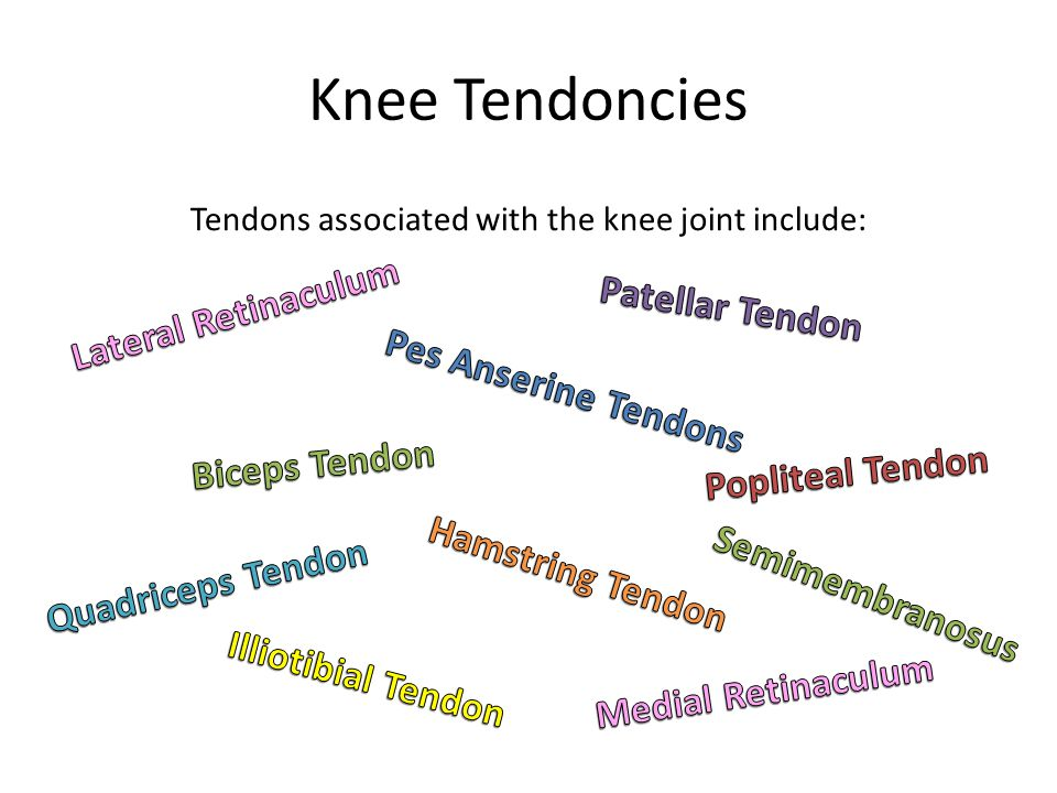 Tendons associated with the knee joint include: